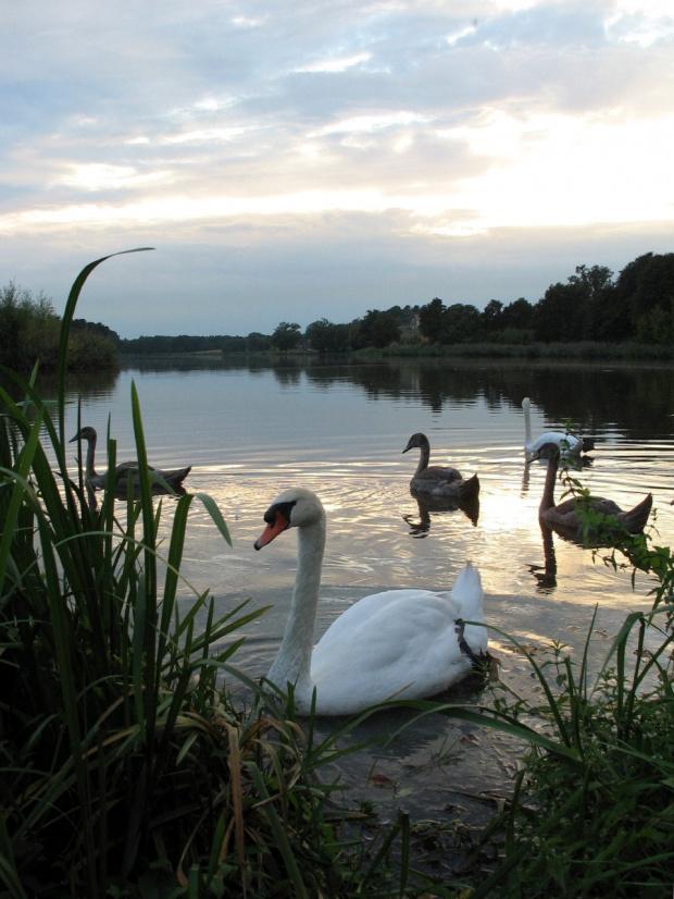 #natura #zalew #woda #wieczór #łabędzie