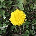 #Kwiaty #MniszekLekarski