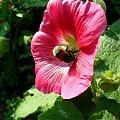 #kolorowy #kwiat #owad #różowy