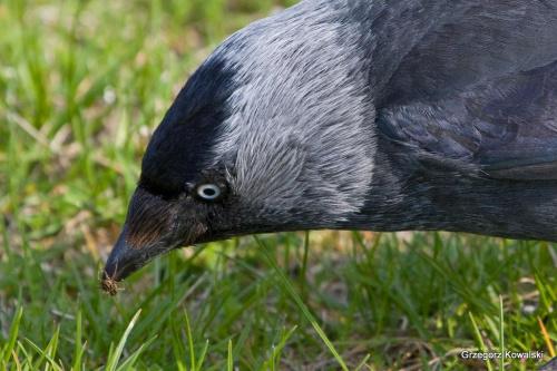 #kawka #ptaki #natura #przyroda