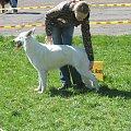 biały owczarek szwajcarski #BiałyOwczarekSzwajcarski #owczarek #wystawa #pies