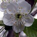 pzk - kwiat wiśni #pzk #kwiat #wiśnia
