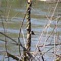 #zielone #wiosna #ptak #ptaszek #rzeka #rzeką #łąka #qso