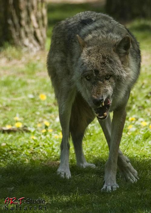 Bliżej nie podchodź ... #Naris #Wilki #Zwierzęta