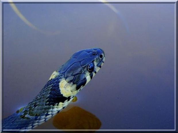 portrecik zaskrońca.. ;D #gad #wąż #zaskroniec #woda #makro