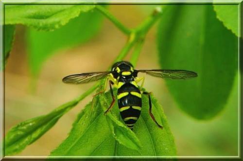 prawie jak z porcelany #muchówki #owad #makro