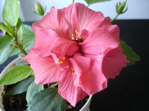 Moja kochana jednoroczka różyczka #hibiskus #RóżaHińska
