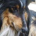 #coolie #OwczarekSzkocki #pies #piesek #pisy #psiak #zwierzę #zwierzęta