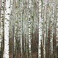 brzózkowy zawrót głowy #brzoza #drzewo #las
