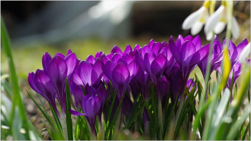 Krokusy... #Krokusy #kwiaty #wiosna #makro
