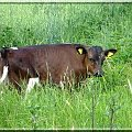 mała krówka #krowa #zwierze