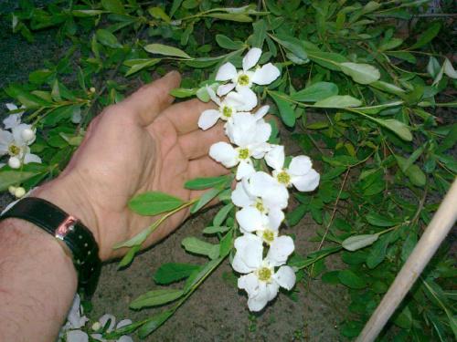 Wielkość kwiatów w porównaniu #ObielaWielkokwiatowa