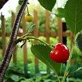 Smacznego:-) #wiśnia #owoc #drzewo
