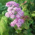 Krzew #kwiat #ogród #roślina #krzew