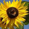 słońcem malowane #kwiat #kolor #niebo #owad #natura