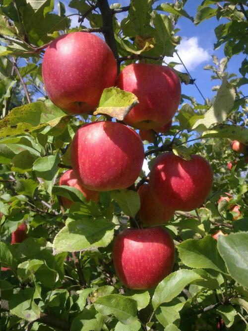 #jabłka #owoce #CzerwoneJabłuszka