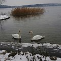 Pierwsze lody na jeziorze uniemożliwiły łabędziom dostęp do brzegu #jezioro #ładędzie #mróz
