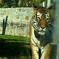 odnaleźć siebie... #TygrysBengalski #tygrys #wrocław #zoo