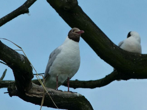 Mewa śmieszka #Ptaki #przyroda #zwierzęta #natura
