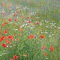 #pole #kwiaty #maki #bławatki #rumienki