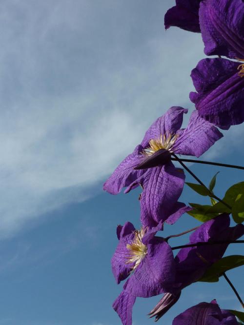 Klematisy #kwiat #klematis #niebo #lato
