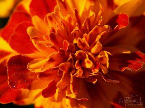 Aksamitka [Olympus E-410, Zuiko Digital 14-42 + soczewka makro +8Dioptrii] #kwiat #aksamitka #makro