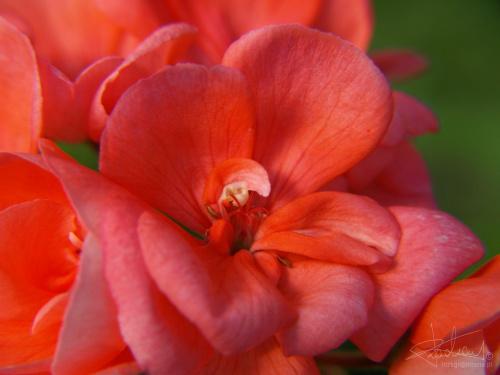 Begonia [Olympus E-410, Zuiko Digital 14-42 + soczewka makro +10Dioptrii] #Kwiat #begonia #pyłek #natura #makro