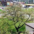 4 maja 2013 #Lipa #wegetacja #zima #wiosna #PoryRoku