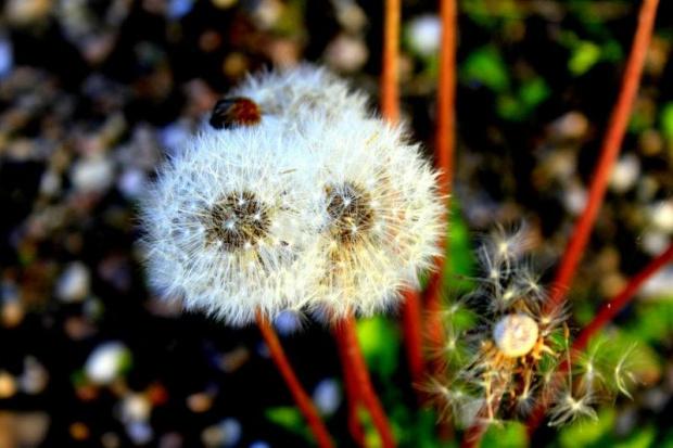 #dmuchawce #rosliny #łąka #pola #wiosna