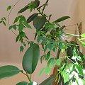 To co wyrosło z dużego ciemnobrązowego nasionka z Indii CO TO ZA ROŚLINA? Już wiem, to entada rheedii. #idia #indie #pnącze #nasionko #roślina #egzotyka #entada #rheedii