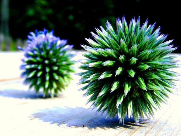 #oset #przyroda #rosliny #kule
