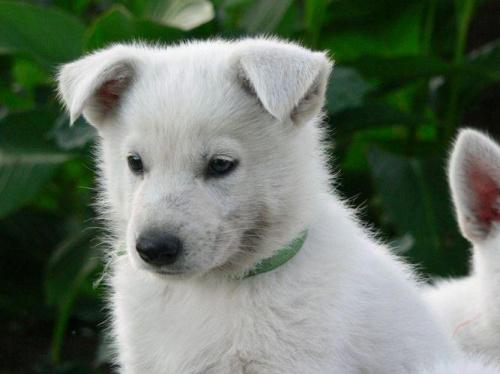 Margo Białe Wzgórza #BiałyOwczarekSzwajcarski #BOS #pies #psy #owczarki #szczenięta #hodowle