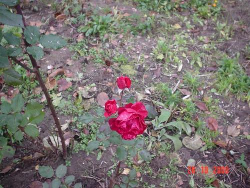 Ostatnia jesienna róża.