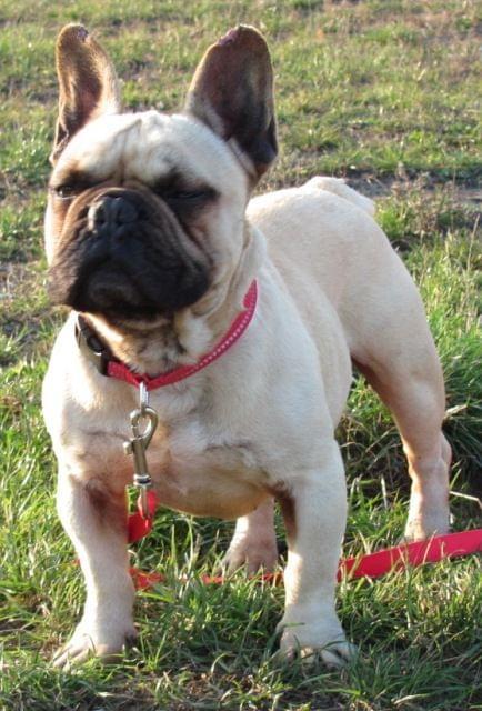 Modish Buldogi do adopcji/w potrzebie - Buldog francuski - Dogomania BP25