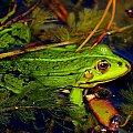 z rodziny żabowatych, Ranidae #żaba #RodzinaŻabowatych #Ranidae