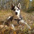 Jesienny spacer - 01-11-2008 #husky #szczeniak #pies #luna