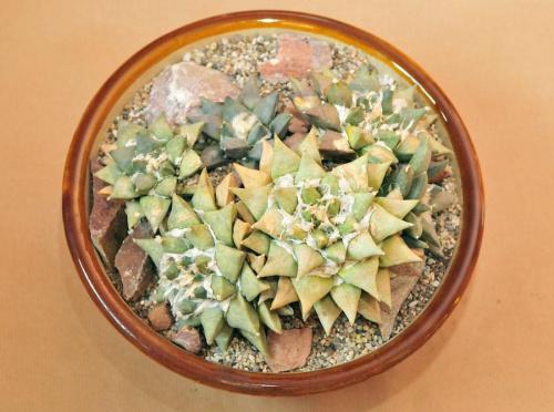 Ariocarpus retusus z6 odrostami