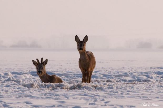 Czy ta Pani... #sarna #sarny #zwierzęta #zima #ssak #śnieg #passiv #airking