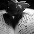 #tulipan #serce #książka #cień #miłość #zakochanie