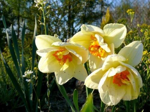 wiosenne kwiaty #kwiat #kwiatki #kwiaty #kwiatek #żonkil #żonkile #wiosna #Wiosna2010