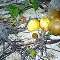 KUBA-orzechy kokosowe #kokos #owoce #Kuba