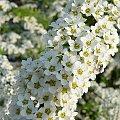 mucha na tawule :P bzzz #tawuła #tawuły #kwiat #kwiaty #mucha #wiosna #Wiosna2010