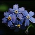 Niezapominajki... #Niezapominajki #kwiaty #makro