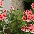 #pelargonie #kwiaty #balkon