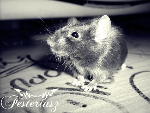 Mysz #mysz #festeriusz