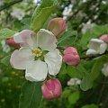 #drzewo #jabłoń #kwiat #kwiaty #makro #pączki #pąki #wiosna