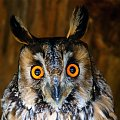 oczy sowy uszatki #ptaki #sowy #uszatka #oczy