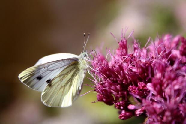 #makro #motyl #motyle #owady #wiosna #lato