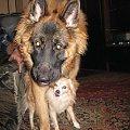 #OwczarekNiemiecki #kundel #pies #psy