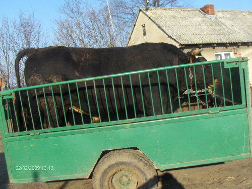 cielaczek #zwierzęta #hodowlane #opasy